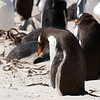Gentoo Penguins at Volunteer Point in the Falkland Islands.