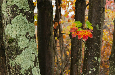 Maple and Lichens