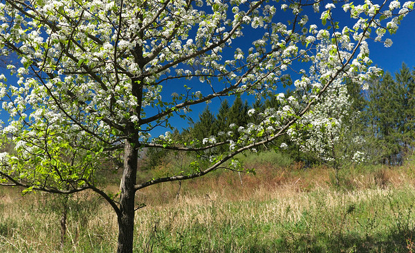 Apple Blossoms on the Gamelands