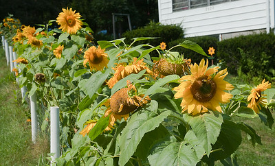 Sunflowers on Alberdeen