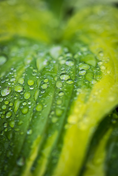 Water drops on Variegated Hosta - May 2013