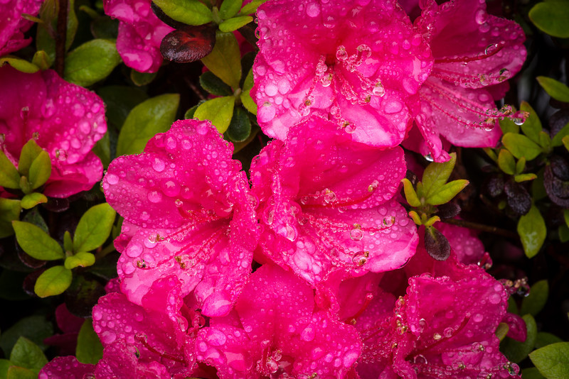 Water drops on blooming Azaleas - May 2013
