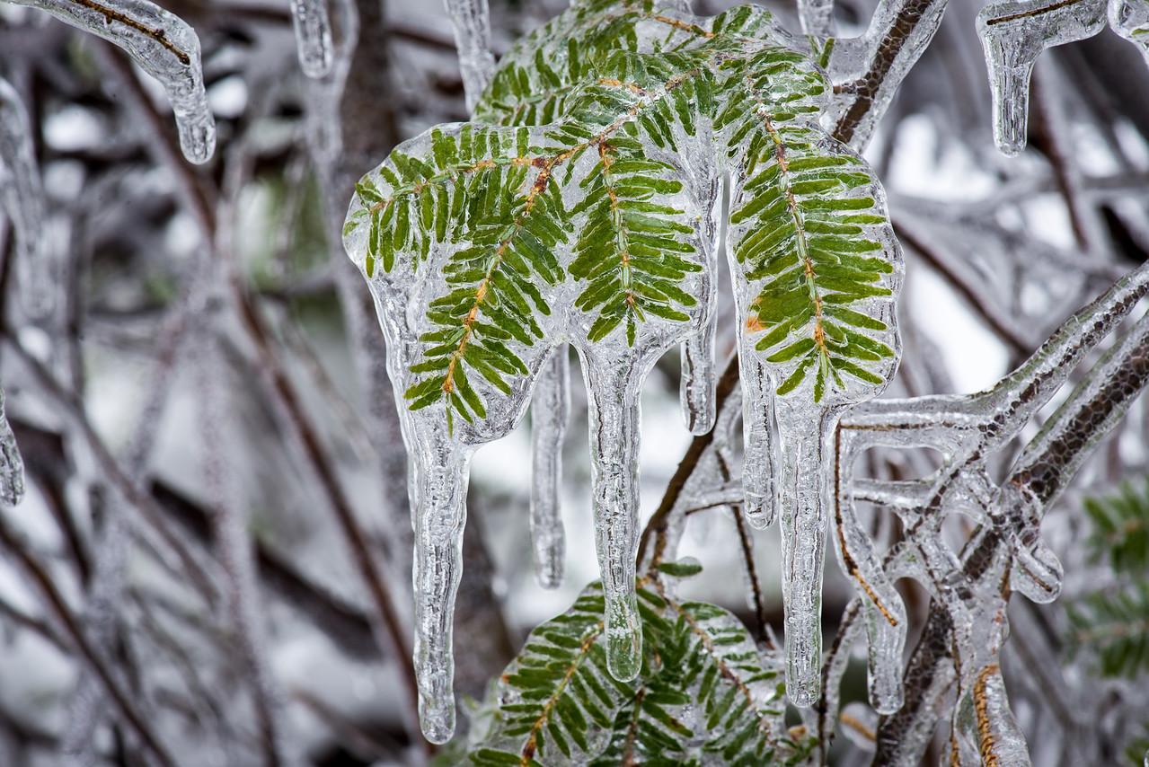 Frozen Rain on Canadian Hemlock - 05 February 2014