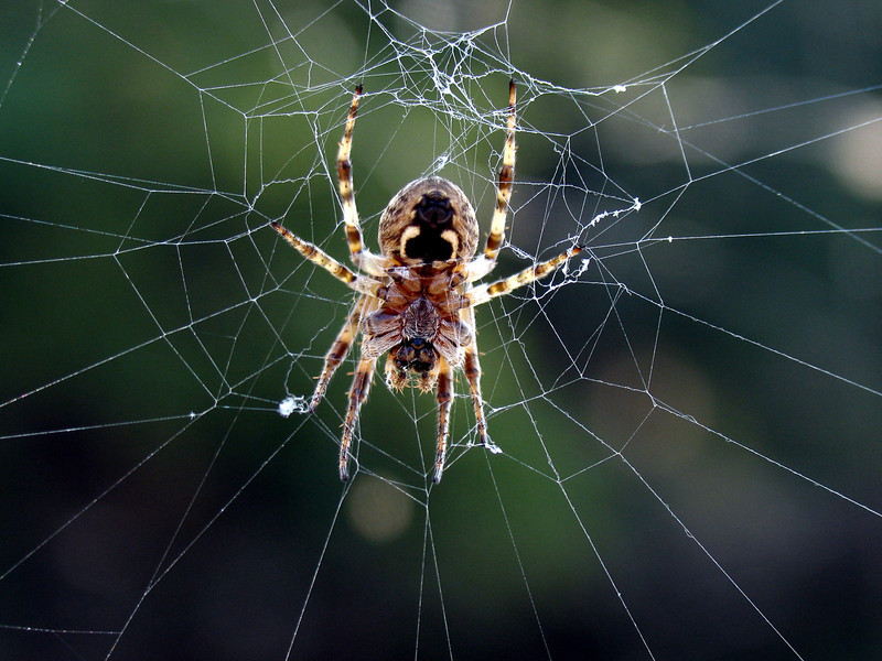Fishing Spider near Conowingo Dam, PA - September 2005