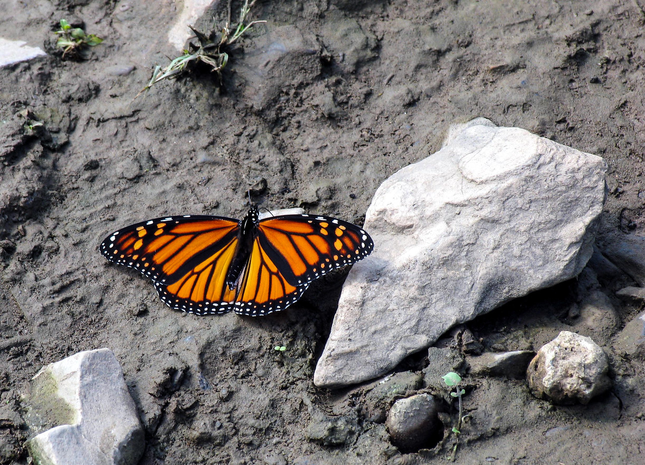 Monarch Butterfly around Conowingo Dam area in PA - September 2005
