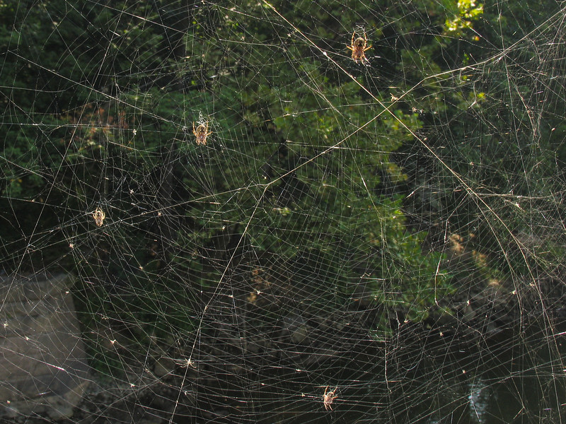 Spiders near Conowingo Dam - September 2005