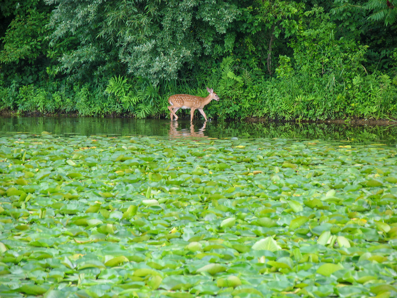 Deer at Lake Nockamixon - July 2005