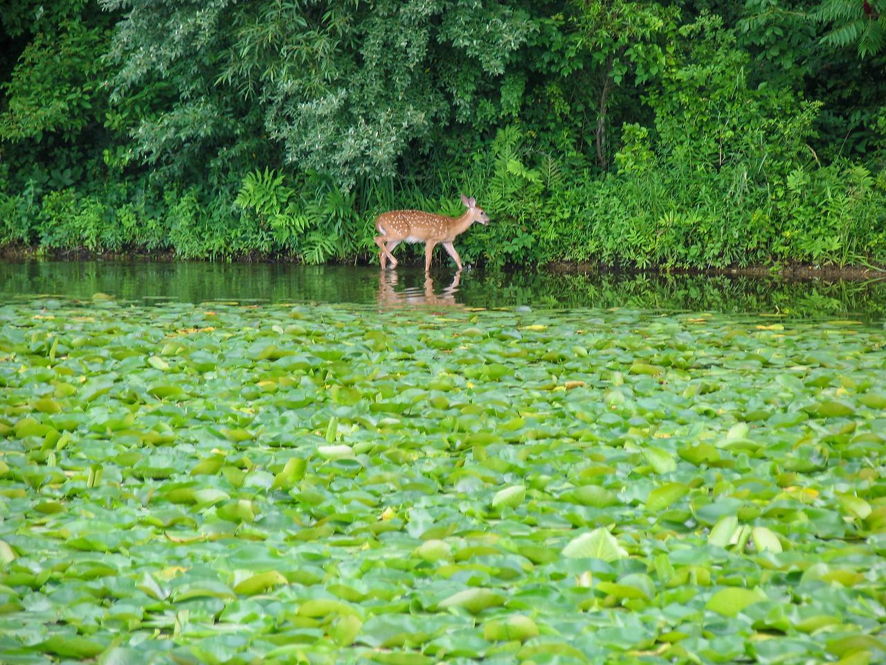 Deer at Lake Nockamixon - July 2005