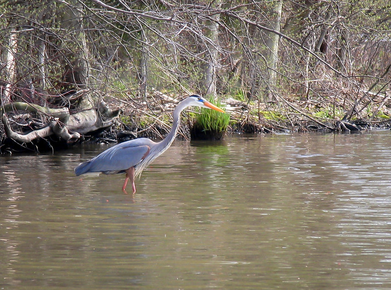 Blue Heron eye-balling a Blue Gill at Lake Nockamixon - April 2004