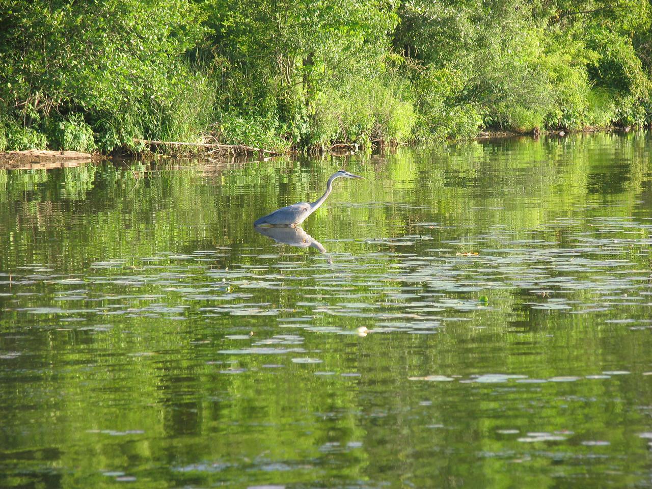 Blue Heron hunting Blue Gill - Lake Nockamixon - June 2007