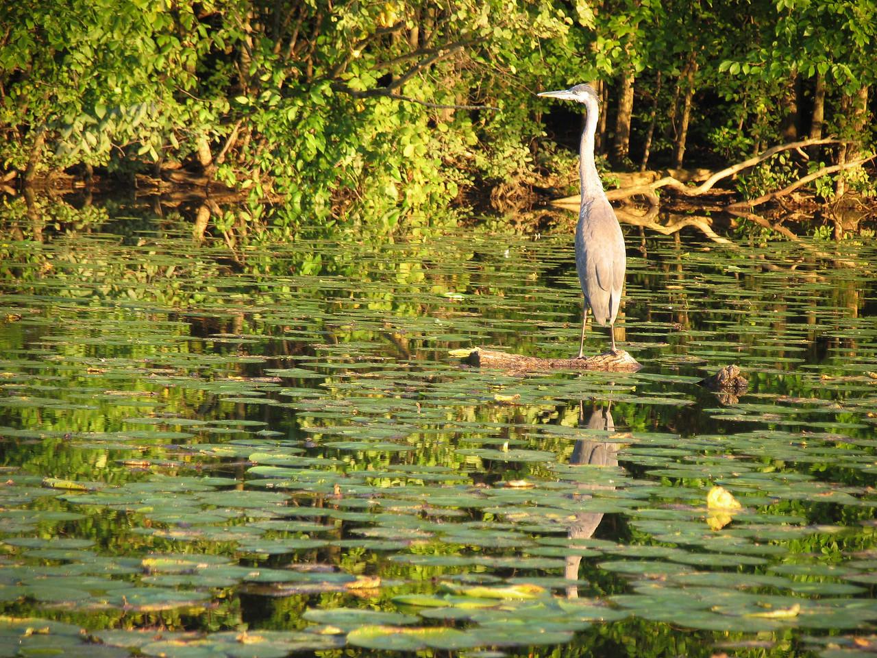 Blue Heron, Lake Nockamixon - August 2004