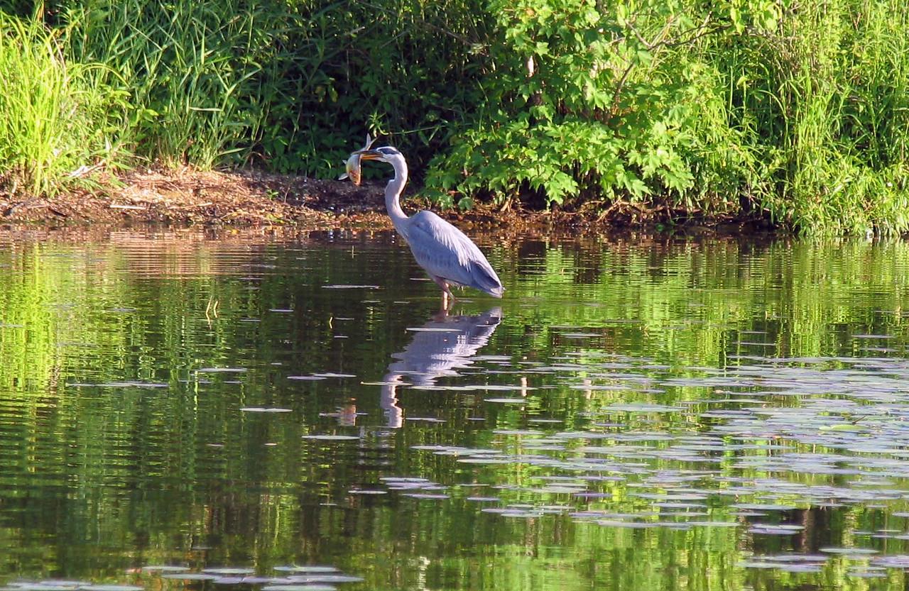Blue Heron with Blue Gill - Lake Nockamixon - June 2007