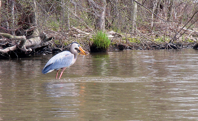 Blue Heron with Blue Gill - April 2004