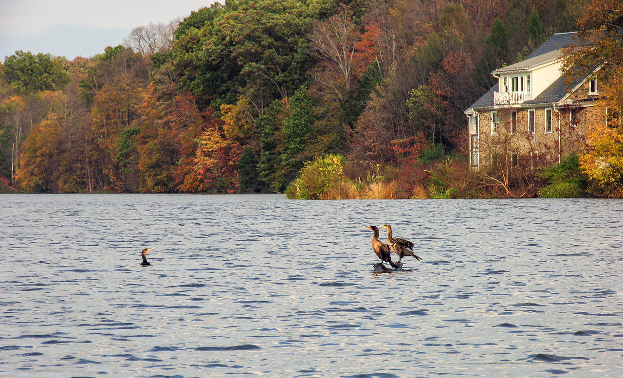 Cormorants on Lake Nockamixon - October 2007