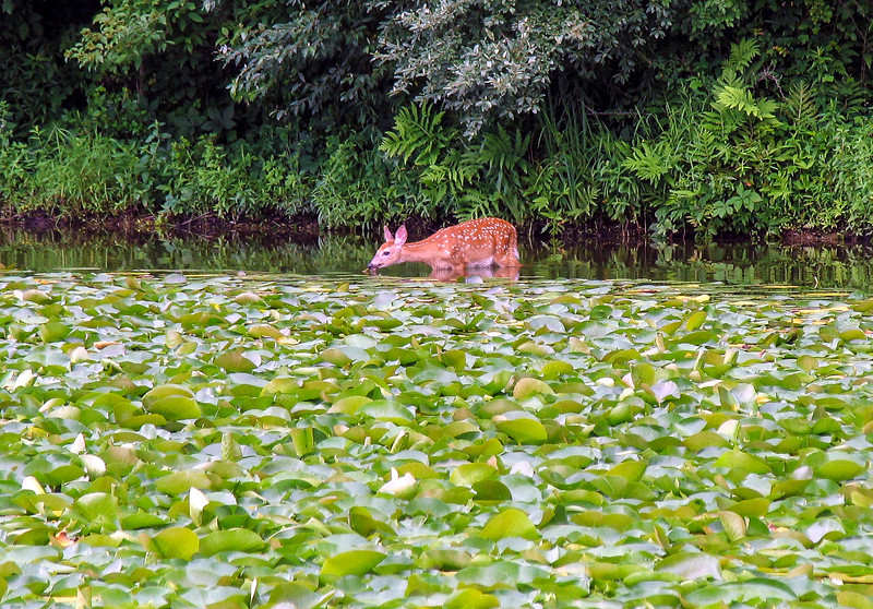 Deer feeding on Lily Pads at Lake Nockamixon - July 2005
