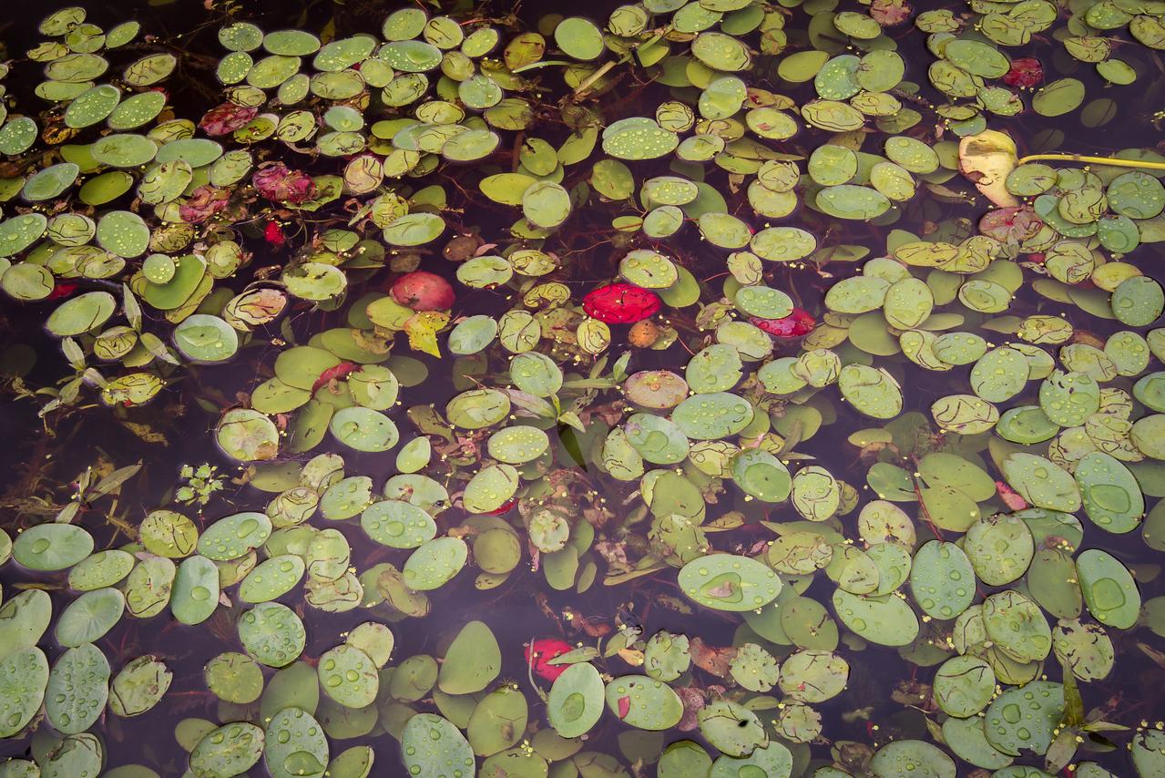 Lily Pads at Lake Towhee - May 2013