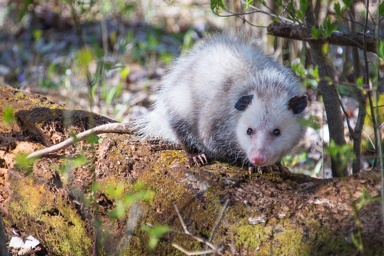 Possum near Lake Towhee - April 2013