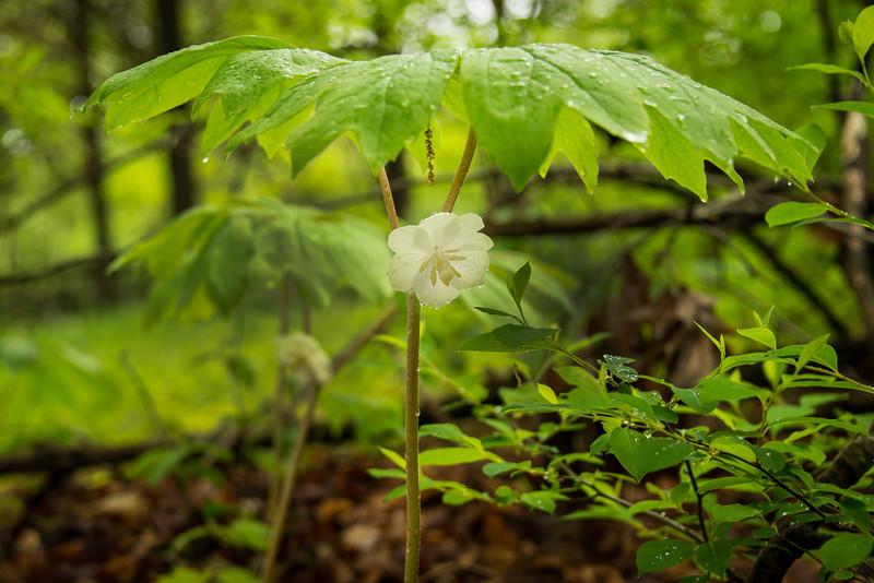 Odd flower in bloom near Lake Towhee - May 2013