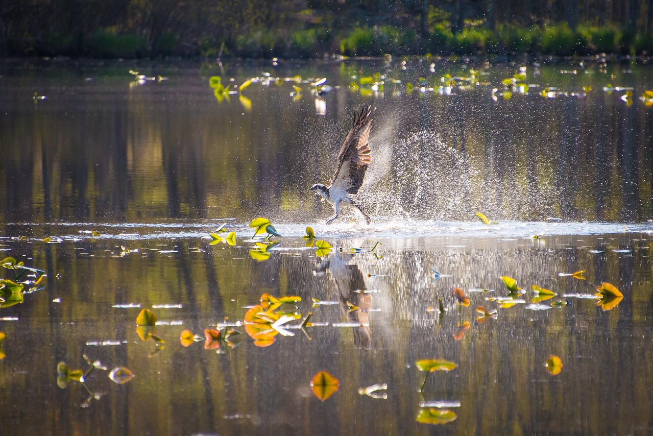 Osprey diving for fish at Lake Towhee - April 2013