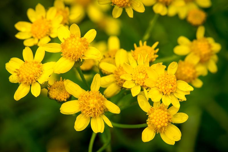 Wild Flowers at Lake Towhee - May 2013