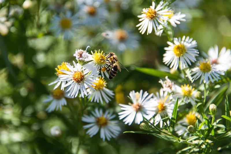 """Honeybee, with full """"Pollen Basket"""", Beltzville Lake - September 2013"""