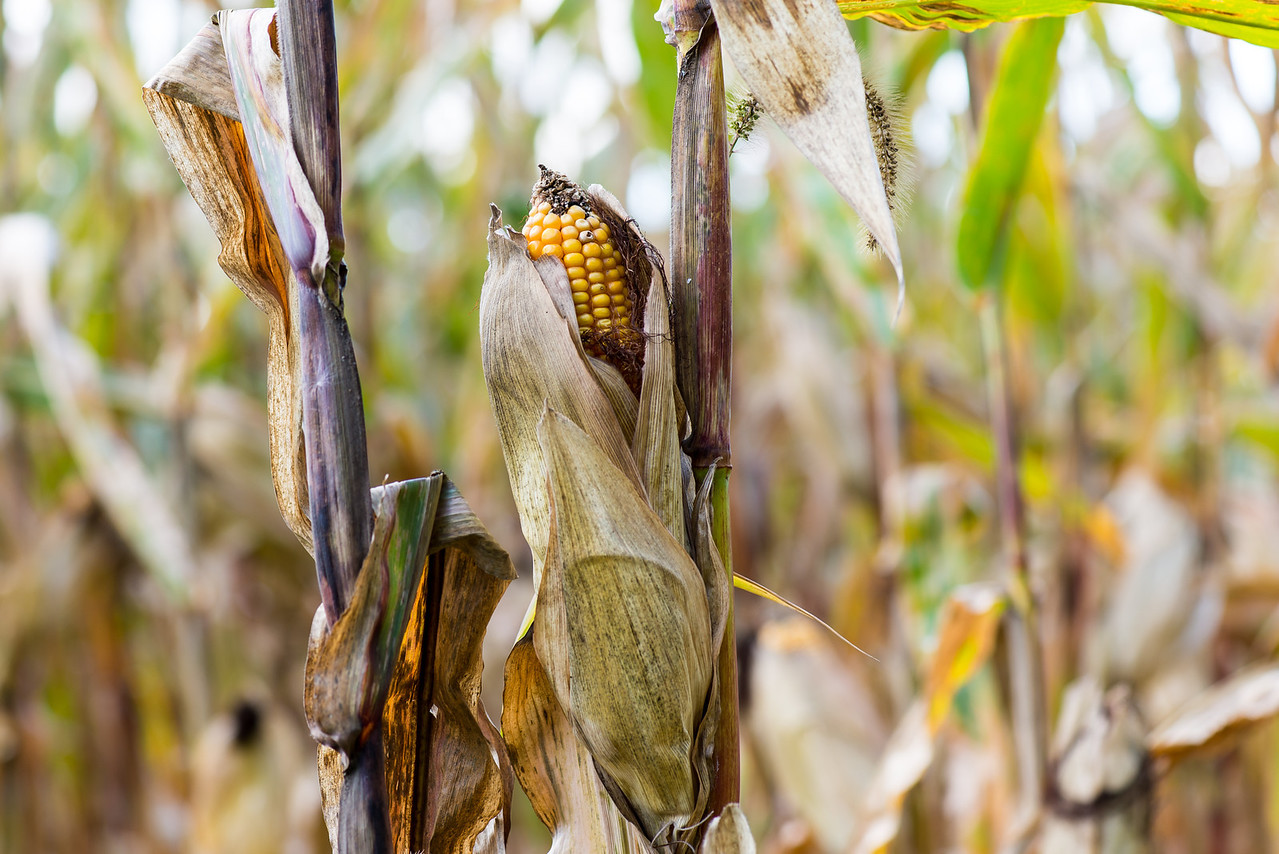 Cornstalks near Beltzville State Park - September 2013