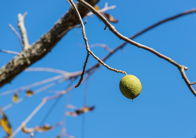 Black Walnut Tree - Beltzville State Park - September 2013