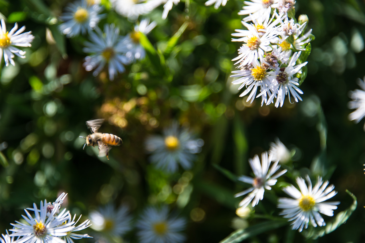 Honeybee, Beltzville Lake - September 2013