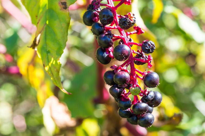 Pokeberries, Beltzville State Park - September 2013