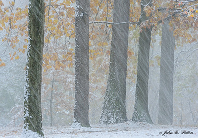 First snow and oak trees