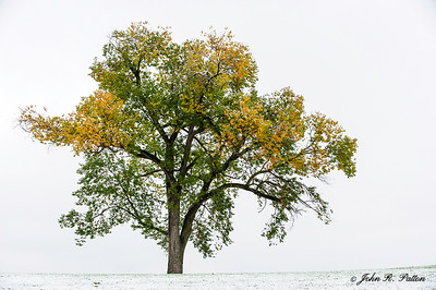 Lone tree, early winter