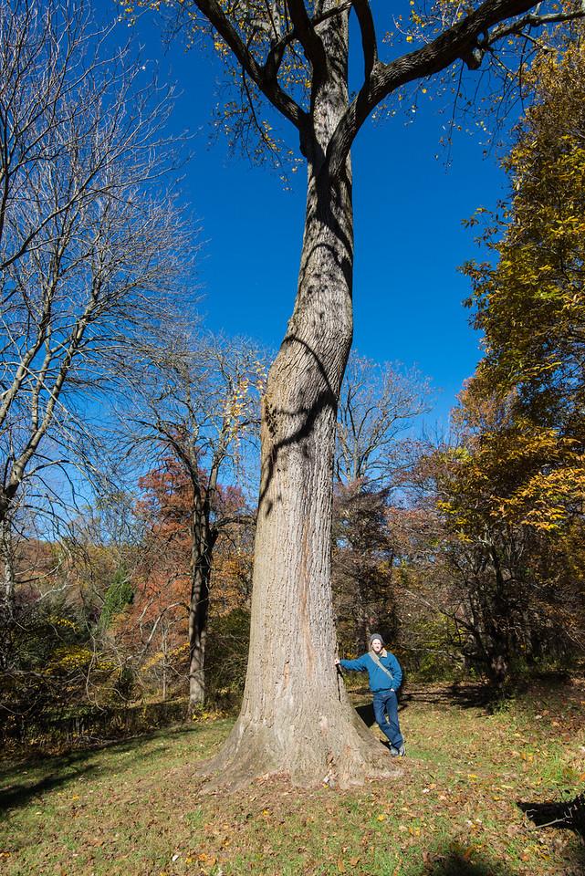 Large Tulip tree at Tyler Arboretum - 03 November 2013