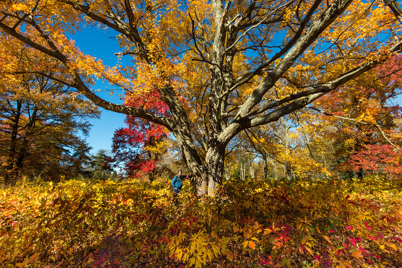 Large Maple at Tyler Arboretum - 03 November 2013