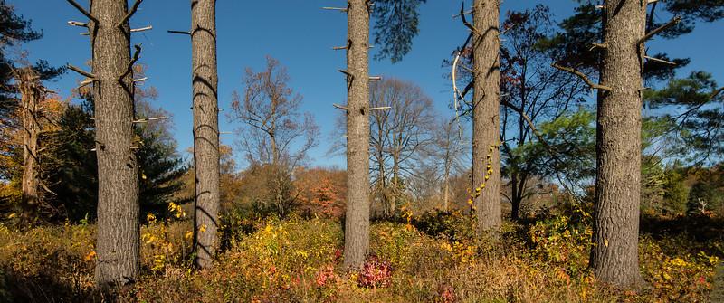 White Pines at Tyler Arboretum - 03 November 2013