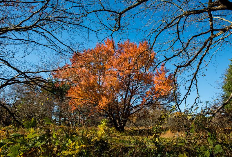Red Maple at Tyler Arboretum - 03 November 2013