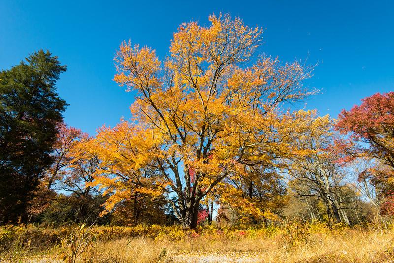 Maple at Tyler Arboretum - 03 November 2013