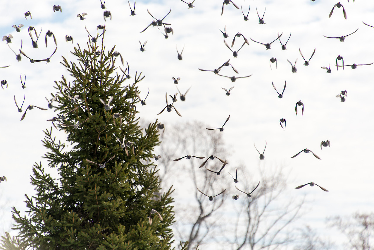 Approaching flock of Starlings at Wilson Farm Park, PA - January 31, 2014