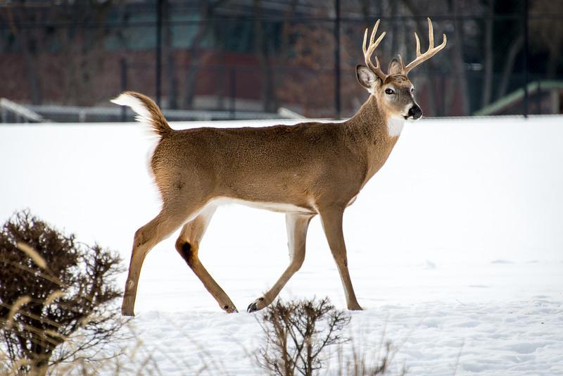 Buck eyeballing me at Wilson Farm Park, PA - 31 January 2014