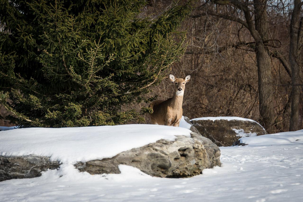 White Tail taking a break from feeding on Evergreen, Wilson Farm Park - 28 January 2014