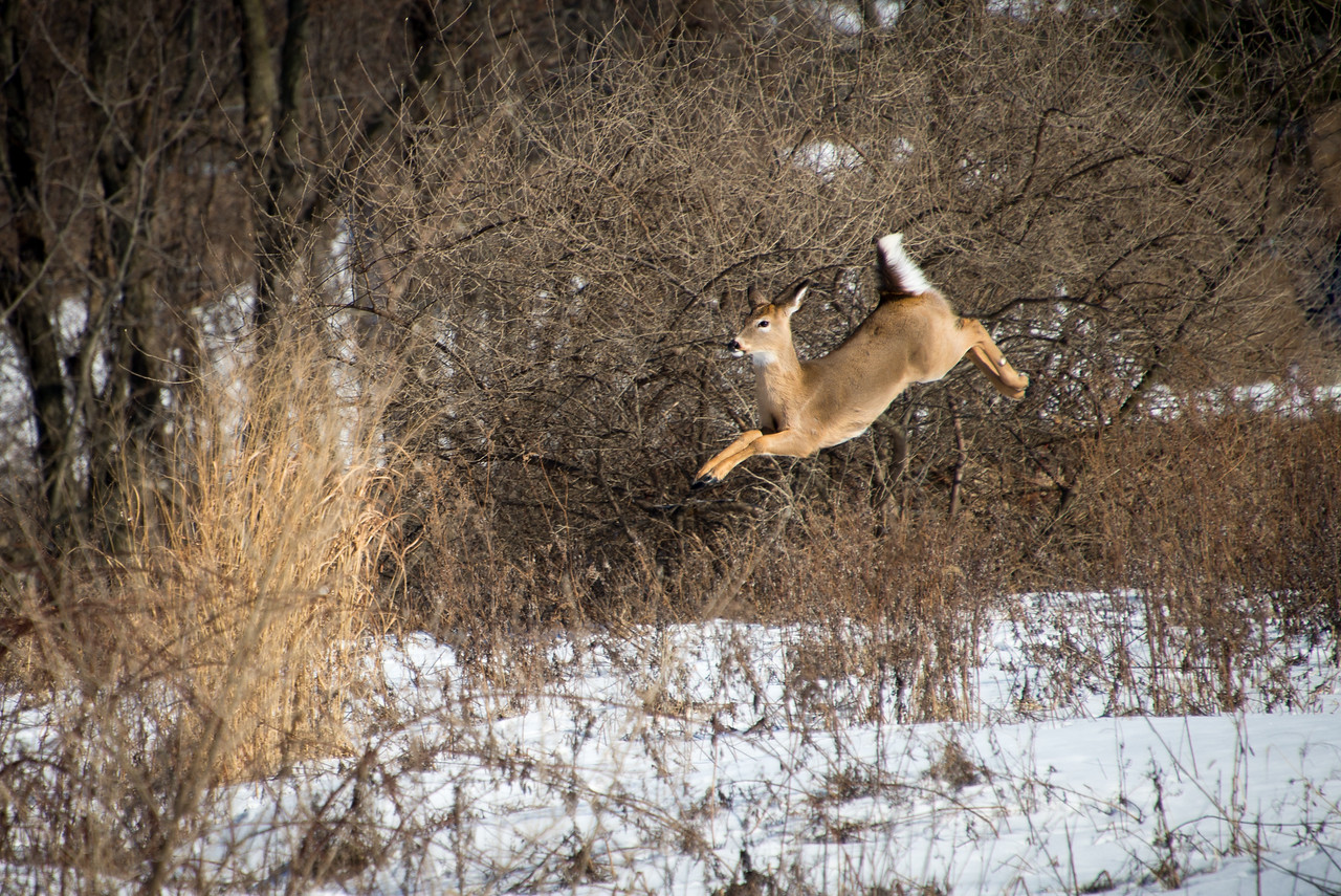 Whitetail deer in mid-jump, Wilson Farm Park, PA - January 2014