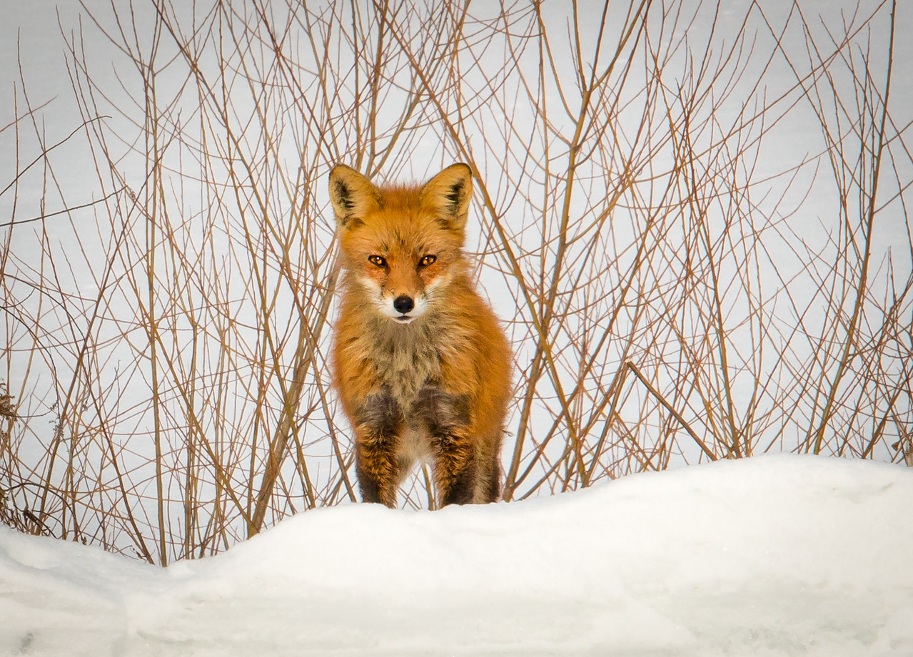 Red fox caught off-guard by my presence.  Wilson Farm Park,  PA - February 2014