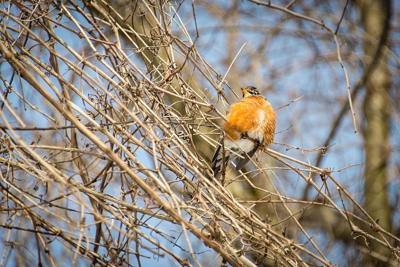 Plump Robin, Wilson Farm Park - 28 January 2014