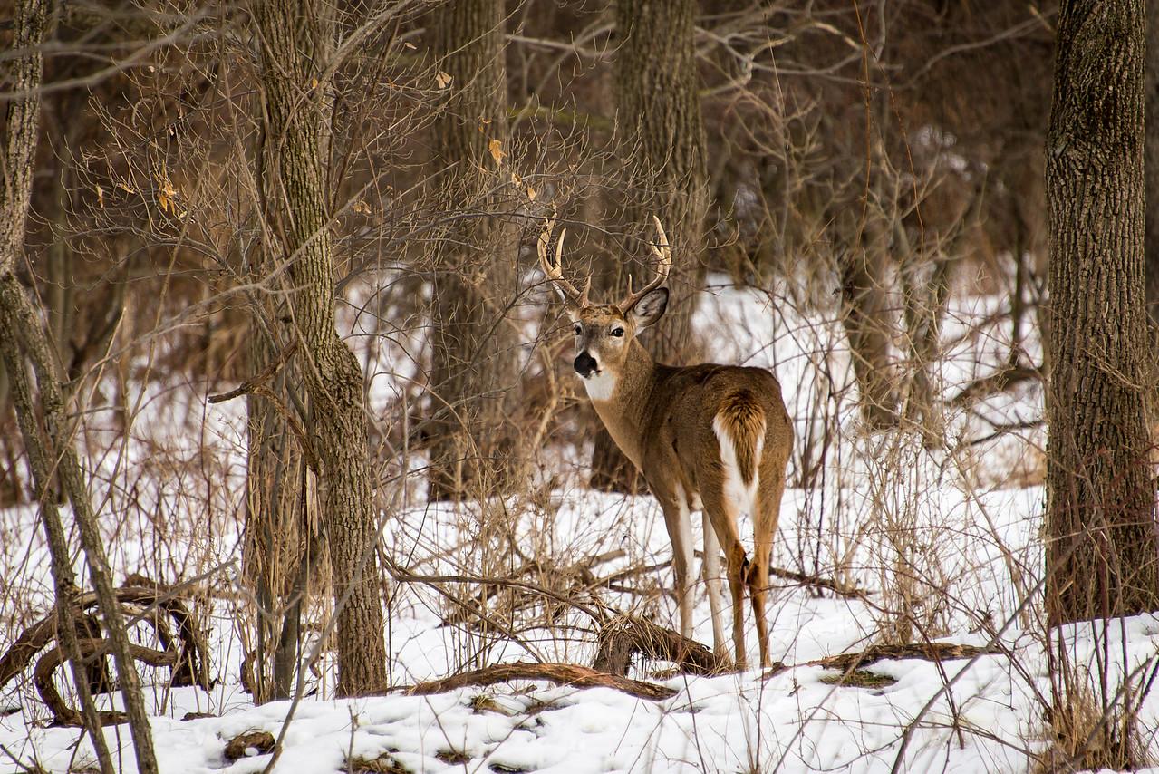 Buck at Wilson Farm Park, PA -January 31, 2014