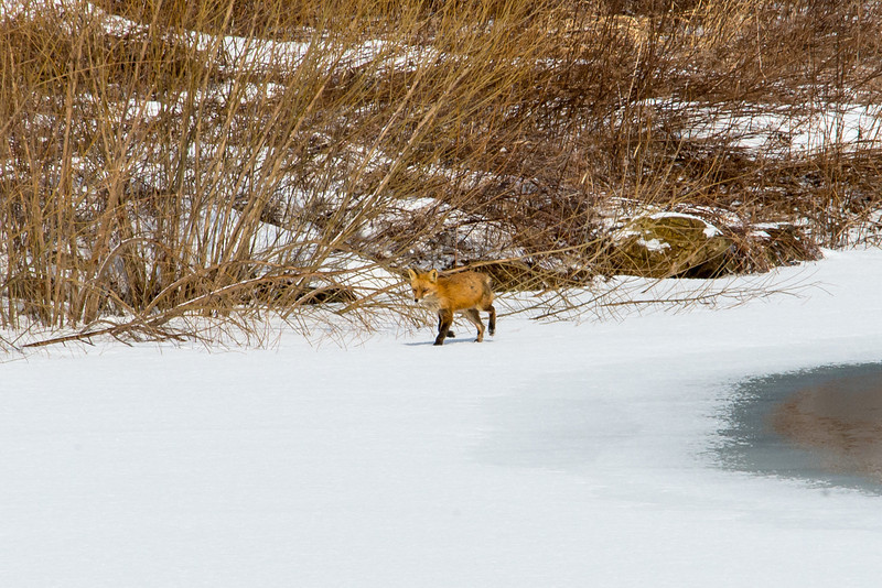 Red Fox, Wilson Farm Park, February 2014
