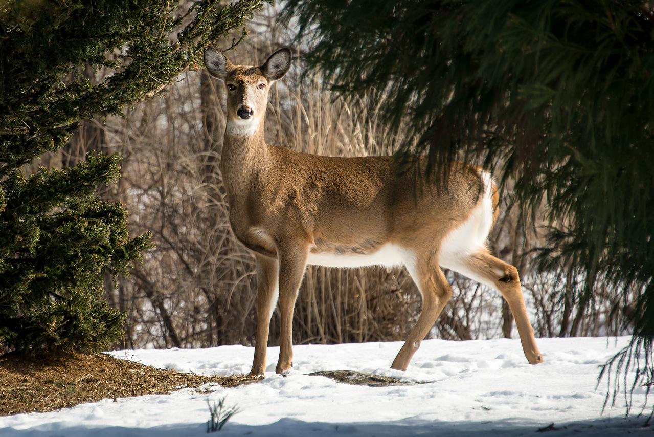 Whitetail taking a break from feeding on Evergreen, Wilson Farm Park , PA - January 2014