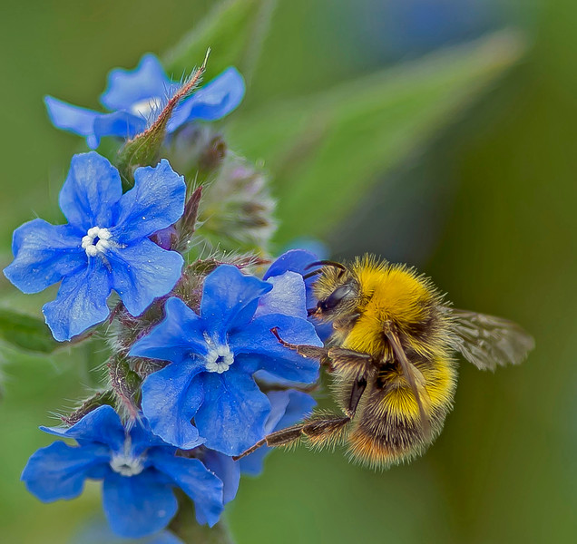 Bombus pratorum, (Early Bumblebee) male.