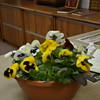 BEAUTIFUL PANSIES FOR THE OCCASION