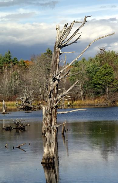 Swamp tree 1