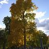 Sunny maple 1
