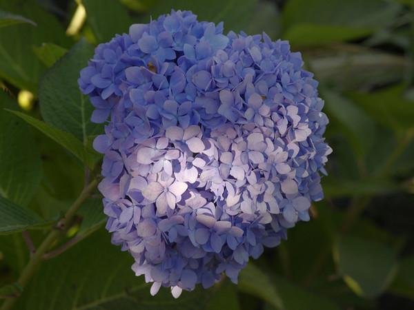 Blue flower - 77 dpi